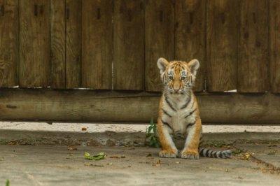 Ростовчане выберут кличку новорожденному тигренку