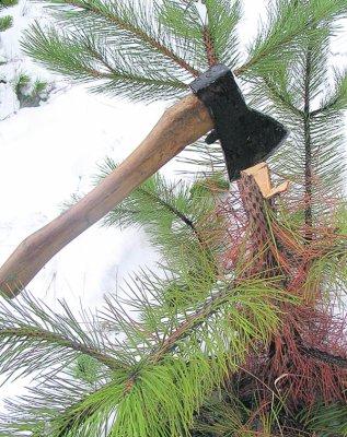 В Белокалитвинском лесу спилили 190 сосен