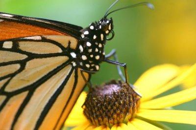Ученые случайно нашли останки самой древней бабочки или мотылька