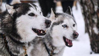 Плачевное состояние: под Тверью проверили условия содержания ездовых собак