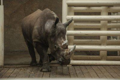 Носорог Теркель привык к ростовскому зоопарку. Теперь его будут показывать каждый день