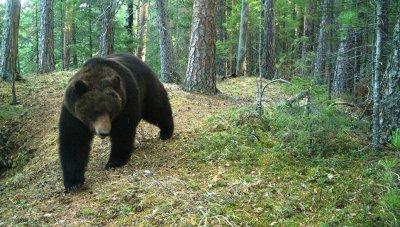Медведи открыли купальный сезон в Красноярском крае