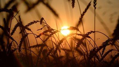 Путин поручил увеличить сбор пшеницы к 2024 году