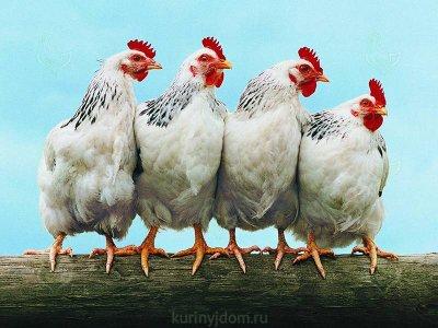 В Белой Калитве борются с очагом птичьего гриппа