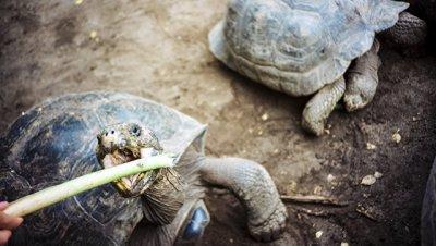 На Галапагосских островах похитили более сотни слоновых черепах