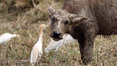 В реке Национального парка Ботсваны утонули 400 буйволов