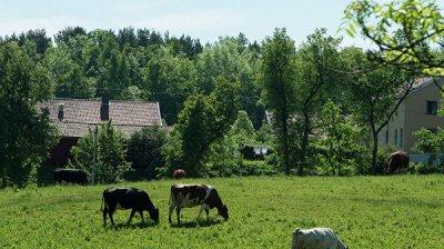 На острове у берегов США обнаружили коров, унесенных цунами