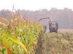 В Ростовской области урожай кукурузы собран с 84,6% посевных площадей