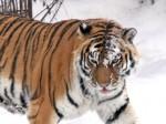 Нетрезвый украинец подрался с тигрицей