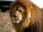 Свирепый лев научился обращаться к Аллаху