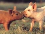 Золотая Свинья повлияет на демографическую ситуацию