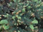 Еловые ветки вместо елки