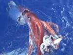 Гигантский кальмар живым не дался