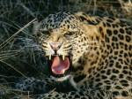 Пограничники оберегают дальневосточных леопардов