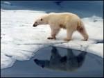США: белым медведям грозит вымирание