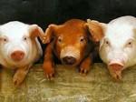 На Украине к началу года Красного Кабана вывели такую же породу свиней
