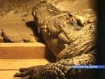 В Ростове-на-Дону из зоопарка украли крокодила