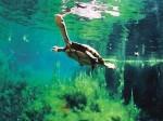 «Курносые» черепахи преподнесли сюрприз