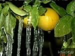 В Калифорнии из-за морозов погибло три четверти урожая цитрусовых