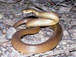 В поисках воды змеи перебираются в города