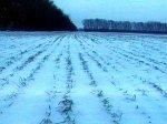 Резкие заморозки представляют угрозу для урожая озимых