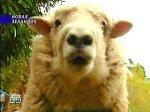 У Новой Зеландии 15 февраля новый национальный праздник - День овцы