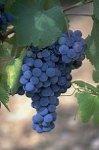 Виноград продлевает жизнь