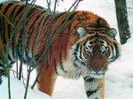 В Приморье амурский тигр напал на лесничего