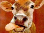 В Ставропольском крае похитили 31 корову