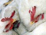 Областные власти нашли птичий грипп на московском рынке