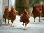 Подмосковных кур могли намеренно заразить птичьим гриппом