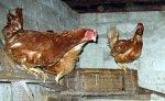 Белоруссия и Украина запретили ввоз птицы из Московской области