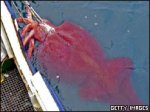 В Антарктике пойман огромный кальмар