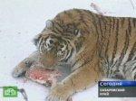 Ученые взялись за спасение тигров