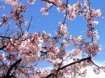 Японские метеорологи извинились за неправильный прогноз цветения сакуры
