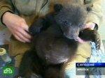 Осиротевшие медвежата никогда не вернутся в тайгу
