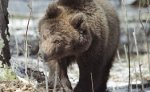 Власти США больше не будут защищать медведей гризли