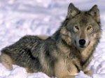 Тайна раскрыта: ученые вырастили клонированных волков