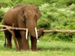Озверевший слон убил двух туристов