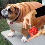 За излишки веса у собак и кошек заплатят их владельцы