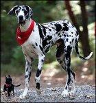 Размер собаки определяет единственный ген?