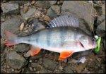 На Аляске рыбаки поймали гигантского окуня весом 27 кг