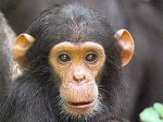 Антверпенцев попросили не вгонять обезьян в депрессию