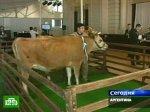 Коровы обеспечат инсулином целую страну