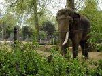 К бельгийским слонихам приехал жених из Нидерландов