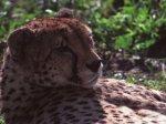 На Северный Кавказ привезут леопардов для восстановления популяции