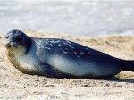 Казахские спасатели пересчитали мертвых тюленей на Каспии