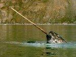 Океанографические данные в Арктике будут собирать нарвалы