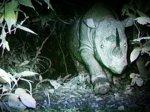 Носорог с Борнео попался на видео