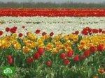 Тюльпановый рай не успеет завянуть
